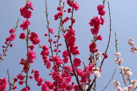 $オーラソーマ 総合情報サイト ブログ-桃の花