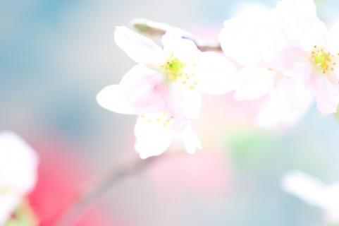$オーラソーマ 総合情報サイト ブログ-桜