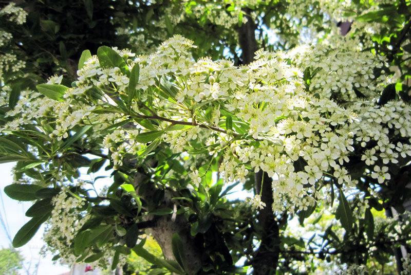 $オーラソーマ 総合情報サイト ブログ-白い花・2