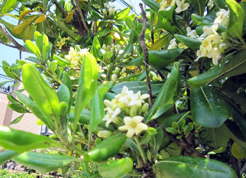 $オーラソーマ 総合情報サイト ブログ-白い花・1