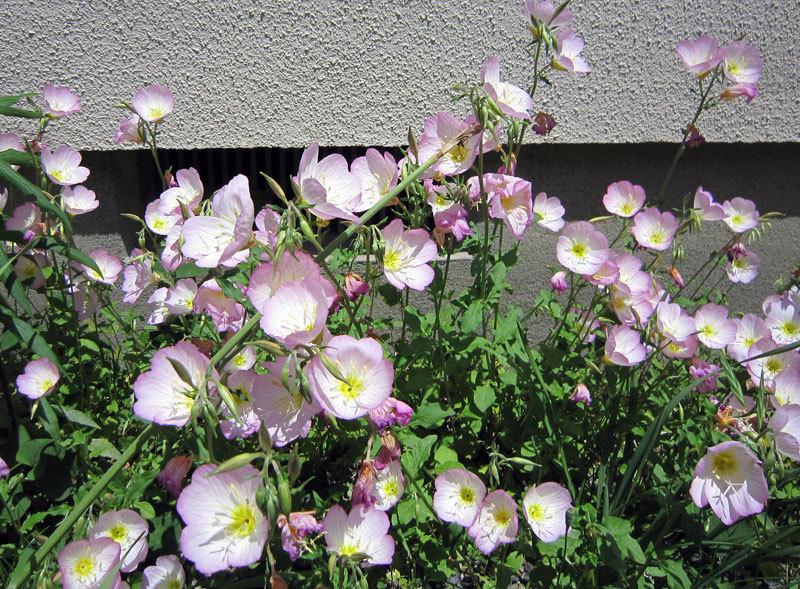 $オーラソーマ 総合情報サイト ブログ-白ピンクの花