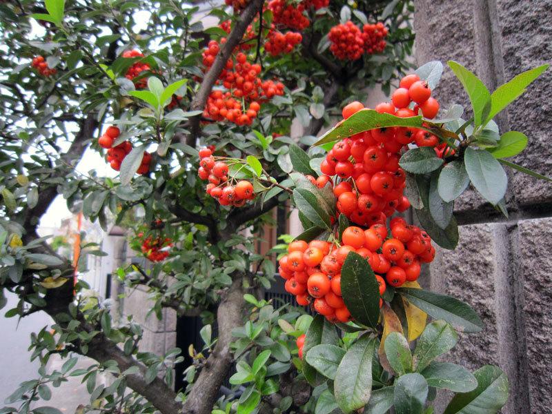 $オーラソーマ 総合情報サイト ブログ-鎌倉の秋の植物・11