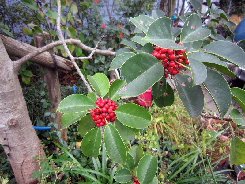 $オーラソーマ 総合情報サイト ブログ-鎌倉の秋の植物・12