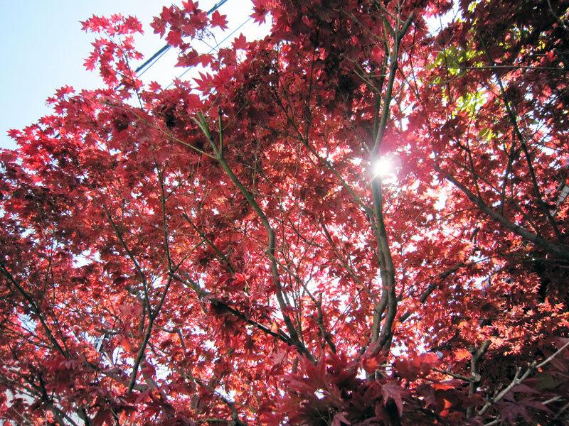 $オーラソーマ 総合情報サイト ブログ-春の紅葉