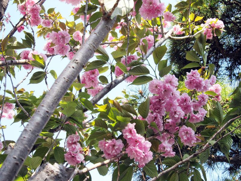 $オーラソーマ 総合情報サイト ブログ-八重桜