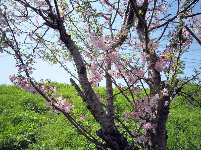 $オーラソーマ 総合情報サイト ブログ-桜満開
