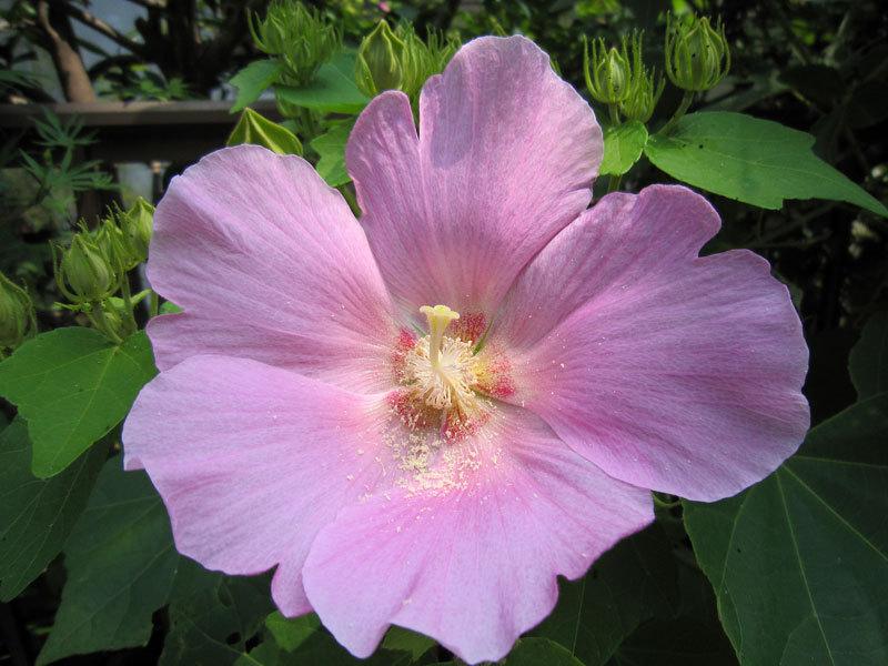 $オーラソーマ 総合情報サイト ブログ-夏の花・1