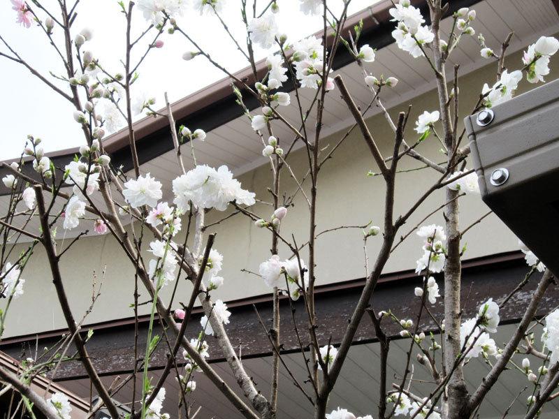 $オーラソーマ 総合情報サイト ブログ-春の花便り21