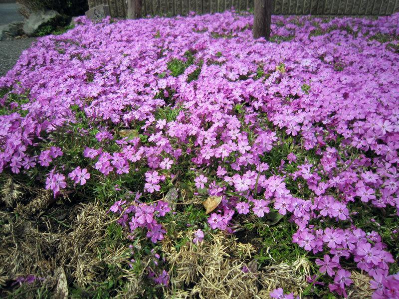 $オーラソーマ 総合情報サイト ブログ-春の花便り19