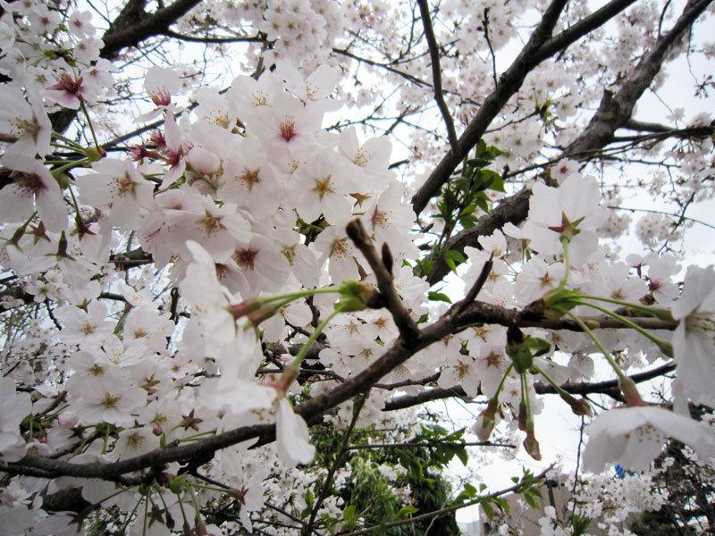 $オーラソーマ 総合情報サイト ブログ-春の花便り23