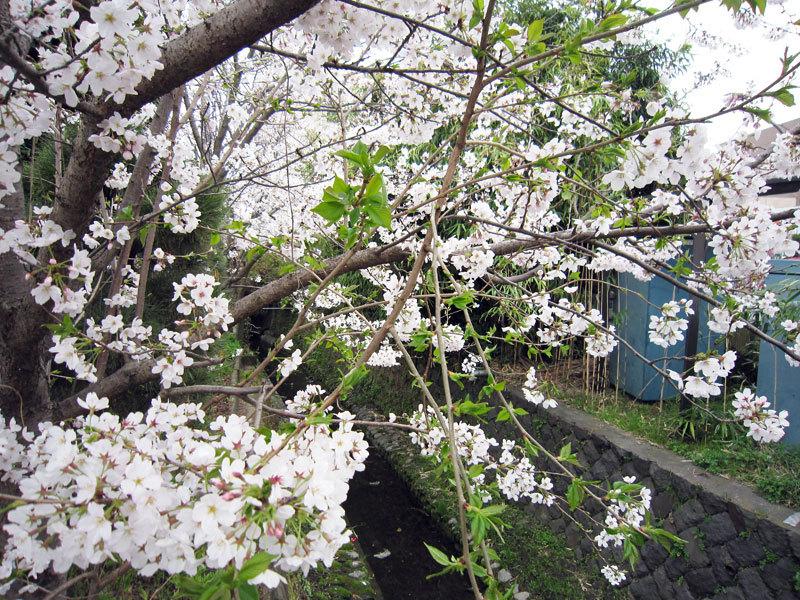 $オーラソーマ 総合情報サイト ブログ-春の花便り22