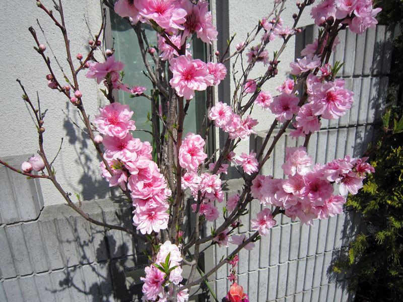 $オーラソーマ 総合情報サイト ブログ-春の花便り28