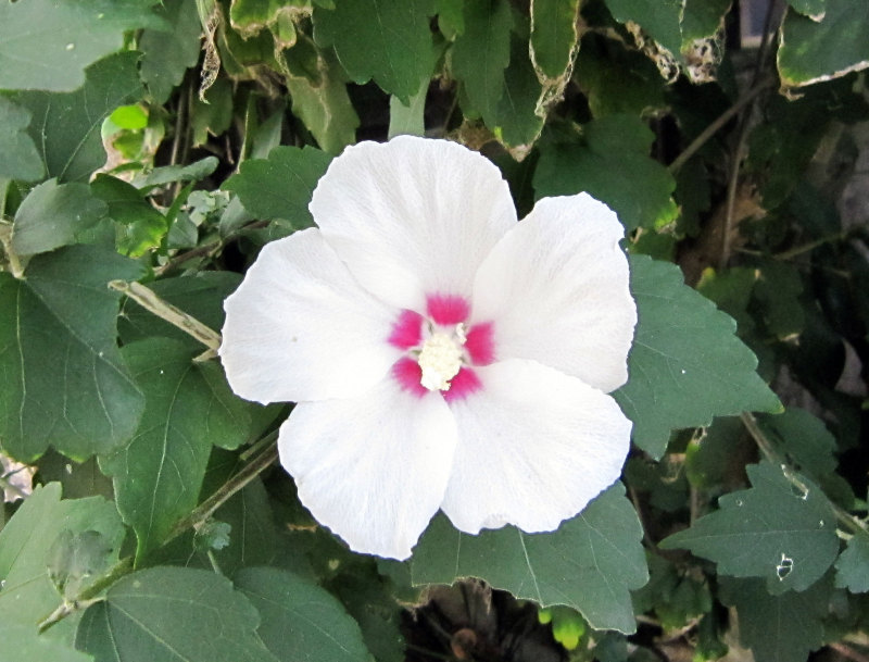 $オーラソーマ 総合情報サイト ブログ-8月の花・6