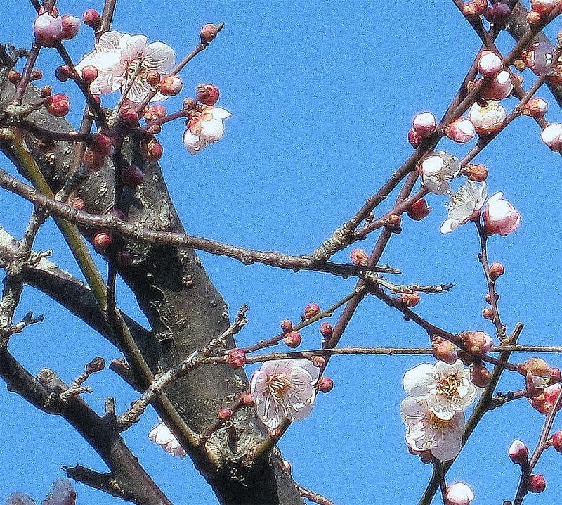 $オーラソーマ 総合情報サイト ブログ-鎌倉・梅・2